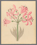 Amarillis [Boophone disticha] (1817) century plant or tumbleweed from a collection of ' Drawings of plants collected at Cape Town ' by Clemenz Heinrich, Wehdemann, 1762-1835 Collected and drawn in the Cape Colony, South Africa