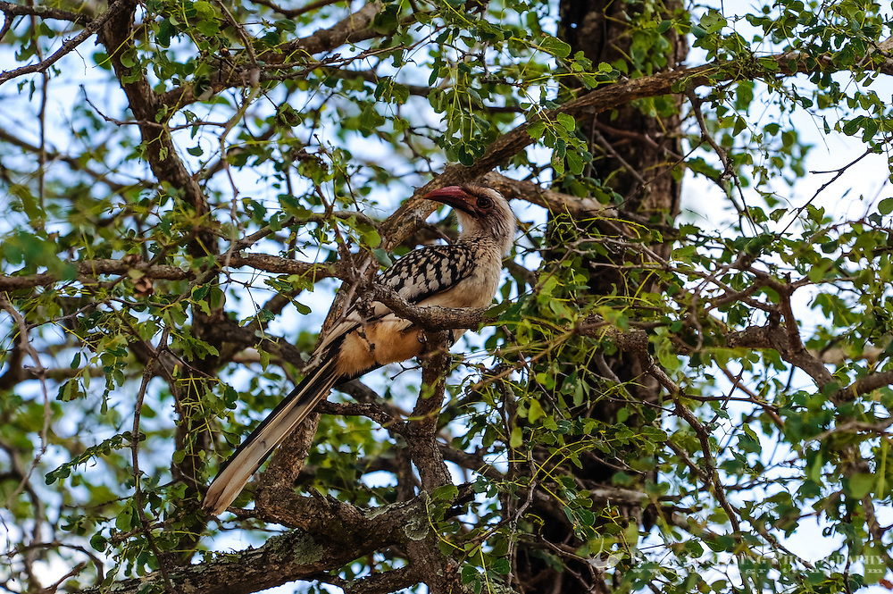 Red-billed Hornbill is found in savanna and woodland of sub-Saharan Africa. Kruger National Park, the largest game reserve in South Africa.