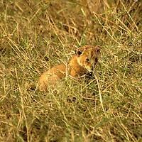 Africa, Kenya, Maasai Mara. Lion cub in grass.