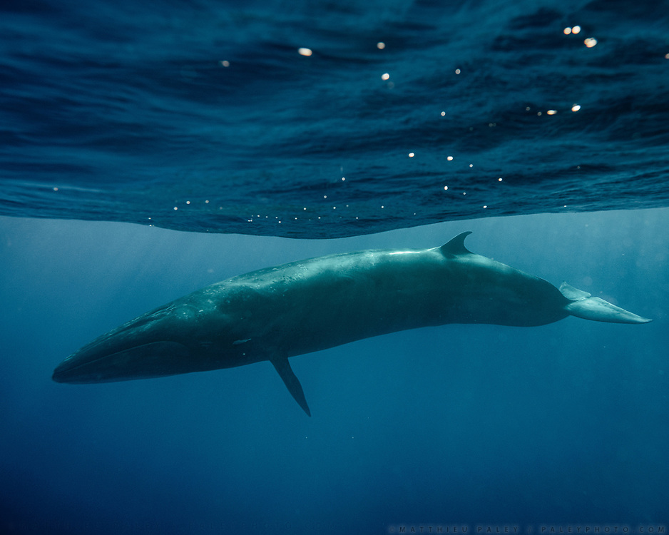 Sei whale. Wildlife has returned to the Azores islands, following lift on whale hunting in the last 1980's and industrial fishing, as well as the creation of several coastal Protected areas. In recent years, Azores's economy has been boosted by tourism attracted to the rich waters.