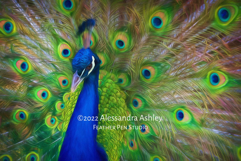 India blue peacock displaying feathers. Painted effects blended with original photograph.
