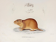 Brazilian Tuco-tuco (Ctenomys brasiliensis [Here as Ctenodactylus brasiliensis]) hand coloured sketched From the book 'Voyage dans l'Amérique Méridionale' [Journey to South America: (Brazil, the eastern republic of Uruguay, the Argentine Republic, Patagonia, the republic of Chile, the republic of Bolivia, the republic of Peru), executed during the years 1826 - 1833] 4th volume By: Orbigny, Alcide Dessalines d', d'Orbigny, 1802-1857; Montagne, Jean François Camille, 1784-1866; Martius, Karl Friedrich Philipp von, 1794-1868 Published Paris :Chez Pitois-Levrault et c.e ... ;1835-1847