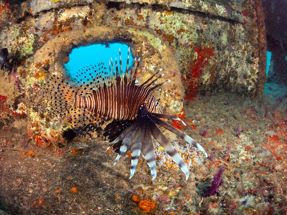 Lionfish on USCGC Spar Shipwreck in North Carolina, USA