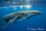 humpback whale, Megaptera novaeangliae, and snorkelers, Vava'u, Kingdom of Tonga, South Pacific (dm)