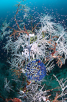 """Black Coral """"Tree"""", Tunicates, and Reef Fishes<br /> <br /> shot in Indonesia"""