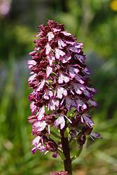 Orchis purpurea x Orchis militaris. kruising Purperorchis en Soldaatje