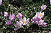 """Wild purple crocus flowers emerge from snow in May in alpine areas of the Tymfi Massif, in the north Pindus Mountains (Pindos or Pindhos), around Zagoria, Epirus/Epiros, Greece, Europe. Zagori (Greek: ) is a region and a municipality in the Pindus mountains in Epirus, in northwestern Greece. Zagori contains 45 villages collectively known as Zagoria (Zagorochoria or Zagorohoria). Published in """"Pindos: The National Park"""" (2010) by Alexander G. Tziolas, preface by Tom Dempsey et al, ISBN 978-960-98795-3-8."""