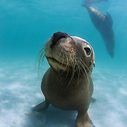 Australian sea lion sitting on the sand, with another one in the background