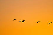 Common crane (Grus grus) Silhouetted at sun-set. Large migratory crane species that lives in wet meadows and marshland. It has a wingspan of between 2 and 2.5 metres. It spends the summer in northeastern Europe and western Asia, and overwinters in north Africa. It feeds on vegetation, insects, frogs and snakes. Photographed in the Hula Valley, Israel, in November