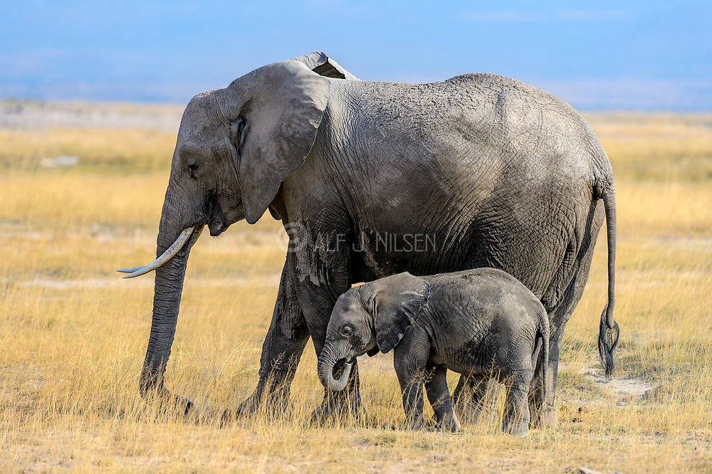 Mother and baby African elephant in Amboseli NP, Kenya.