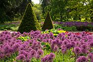 Allium in the Broad Walk Borders at Kew Gardens, London, UK