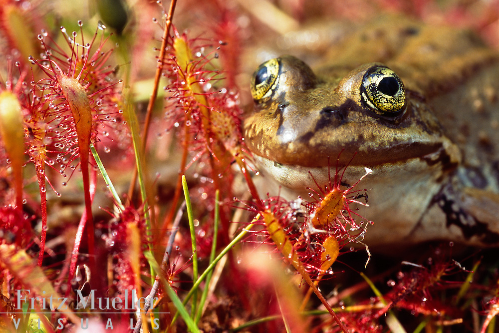 Columbia spotted frog with insect-eating plants