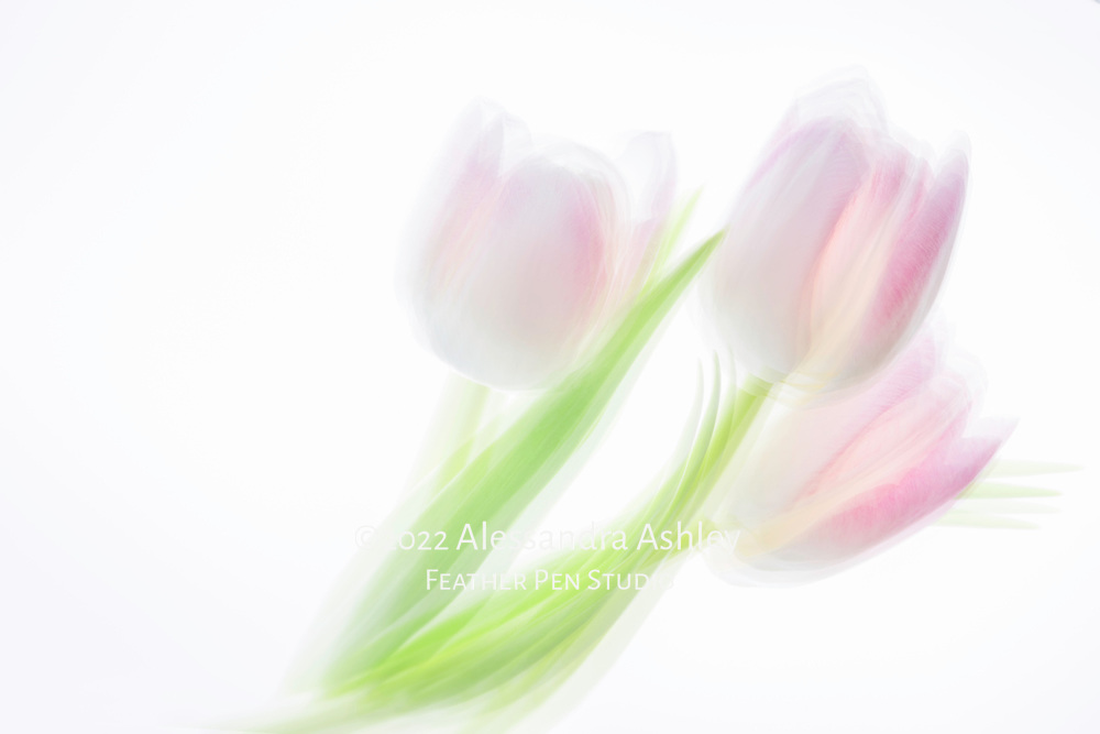 Multi-exposure montage, a trio of translucent pink and white tulips.
