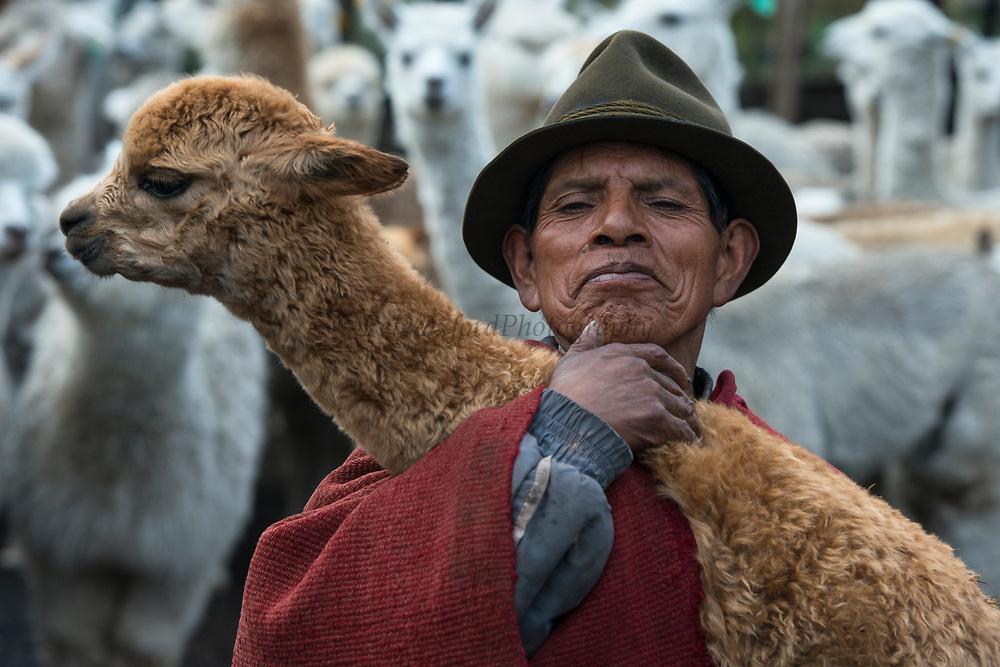 Quichua Indian Man & Alpacas (Vicugna pacos)<br /> Pulingue San Pablo community<br /> Chimborazo Province<br /> Andes<br /> ECUADOR, South America
