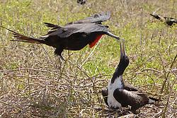 Frigatebird Giving Mate Nest Building Material, North Seymour