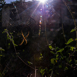 """""""Argiope sp. (Argiope sp.) fotografado em Linhares, Espírito Santo -  Sudeste do Brasil. Bioma Mata Atlântica. Registro feito em 2015.<br /> <br /> <br /> <br /> ENGLISH: Spider photographed in Linhares, Espírito Santo - Southeast of Brazil. Atlantic Forest Biome. Picture made in 2015."""""""