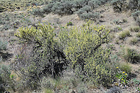 This tough, woody shrub is common in the most arid regions of the American and Canadian West, and is a member of the rose family. Attractive in the spring when it is overloaded with small yellow flowers, it is often found with balsamroot species in sagebrush desert habitats, and is an important food source for deer. This one was photographed in Central Washington in Kittitas County near the Columbia River.
