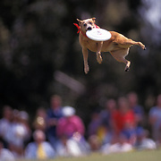 A dog stretches out to catch the Frisbee during the Dog Chow Incredible Dog Challenge competition in San Diego, California.