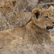 Young African lion cubs resting. South Africa.