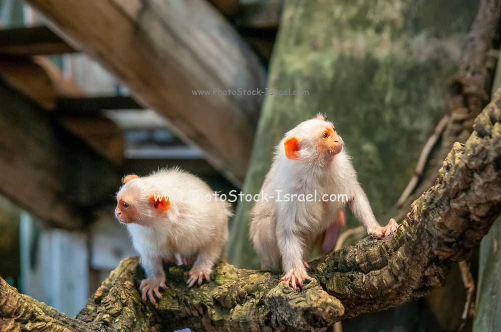 silvery marmoset (Mico argentatus) is a New World monkey that lives in the eastern Amazon Rainforest in Brazil.