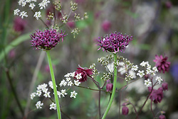Allium atropurpureum with Anthriscus sylvestris 'Ravenswing' (Dark leaved cow parsley)