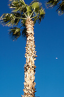 Palm trees on a windy day in Las Vegas Nevada, half moon rising in the sky in the background