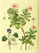 Viola odorata [Sweet Violet], Vinca rosea [Pink Madagascar periwinkle] from Vol II of the book The universal herbal : or botanical, medical and agricultural dictionary : containing an account of all known plants in the world, arranged according to the Linnean system. Specifying the uses to which they are or may be applied By Thomas Green,  Published in 1816 by Nuttall, Fisher & Co. in Liverpool and Printed at the Caxton Press by H. Fisher