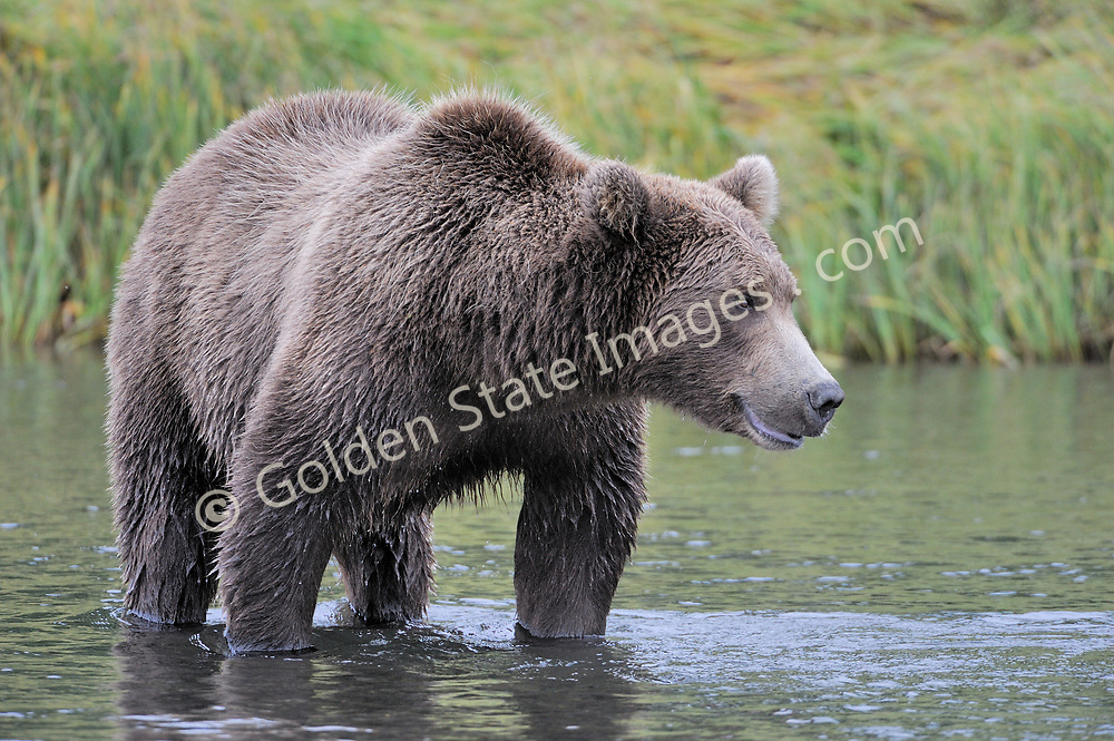 Larger boar patiently waits for an opportunity to nab its next meal. <br /> <br /> Brown Bears and Grizzly Bears are the same species. In general Bears living within 50 miles of the coast are considered browns. Animals living further inland are considered Grizzlies.  <br /> <br /> Grizzlies are omnivores feeding on a variety of plants berries roots and grasses in addition to fish insects and small mammals. Salmon are a key part of their diet. Normally a solitary animal they will congregate along streams and rivers during Salmon runs. Weight to over 1200 pounds.    <br />  <br /> Range: Native to Asia Africa Europe and North America. Now extinct in much of their original range.    <br />   <br /> Species: Ursus arctos