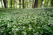 Wild Garlic, Ramsons Allium ursinum,  Covert Wood, Elham Valley, UK, growing in woodland, also known as buckrams, wild garlic, broad-leaved garlic, wood garlic or bear's garlic