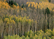 Aspens in autumn gold fill a hillside in Santa Fe National Forest, New Mexico