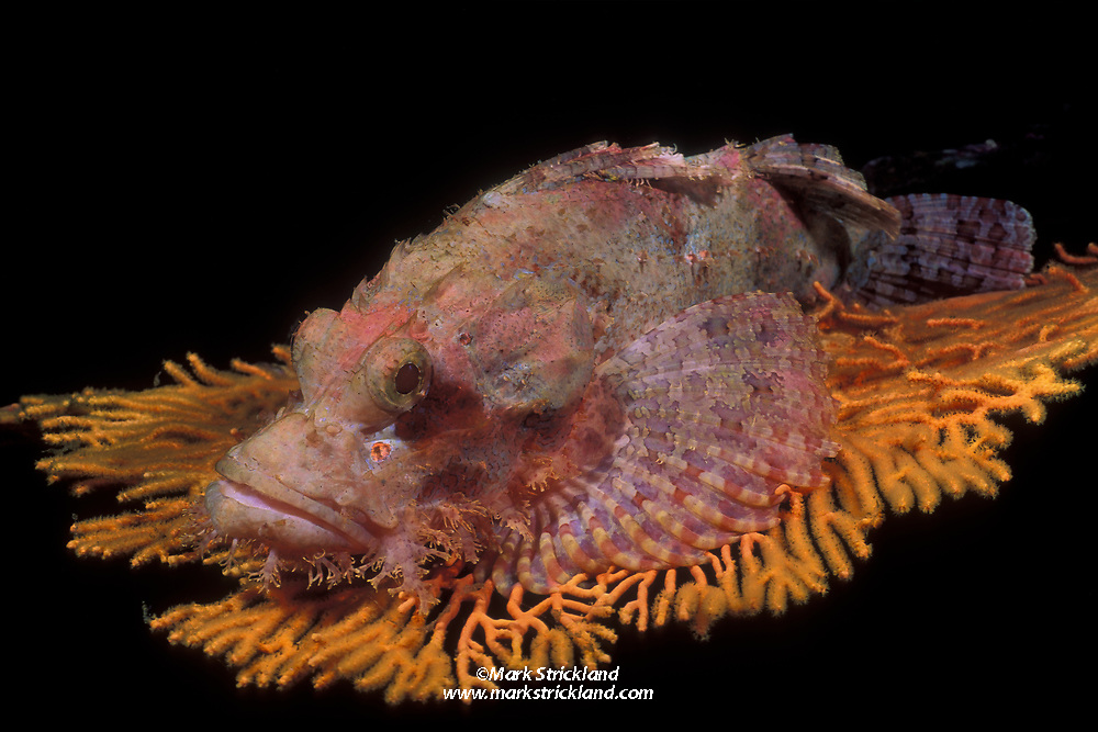 An ambush predator, this Bearded Scorpionfish, Scorpaenopsis barbatus, demonstrates its mastery of camouflage by matching its coloration to the fan coral it rests upon. Mergui Archipelago, Myanmar, Andaman Sea