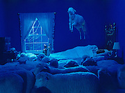 """I built this set in Cornell University's sheep barn to illustrate a story for National Geographic on Sleep and Dreams.  We built it over a holiday weekend and were told that someone from the animal husbandry department would be around to help us get sheep onto the set.  So I became a bit nervous when our handler told us he was going to enjoy supper with his family leaving me to wrangle the sheep onto the set by myself.  """"It'll be easy,"""" he told me, """"just get the most dominant sheep tied to the bed and the others will follow.""""  After pointing out the most dominant sheep to me which didn't look at all that dominant, he left. I led the begrudging sheep to the set, tied it to the bedpost and waited.  I waited quite awhile.  After more than a reasonable amount of time passed I noticed that the other less dominant sheep still looked quite content to be apart from the dominant one. What may have unnerved them was that I had rigged a stuffed sheep (doomed to die at a slaughterhouse) with all sorts of ropes and pulleys in a jumping position above the bed. (N.G. does not like to use Photoshop)  Every one of the sheep had to be carried onto the set.  None came by their own will."""