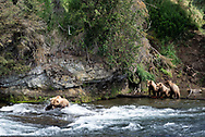 Three bear cubs watch their mama fish for salmon in the Brooks River, Alaska