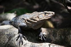 Green iguana, Manuel Antonio National Park, Costa Rica