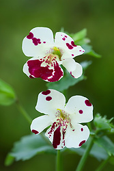 Mimulus 'Magic White Blotch' (Monkey flower)