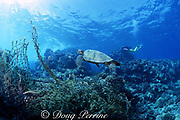 juvenile green sea turtle, Chelonia mydas, swims past ghost fishing net entangled in coral, Kua Bay, Kona, Hawaii, United States ( Central Pacific Ocean ) MR 286