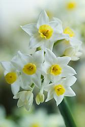 Narcissus 'Grand Primo'