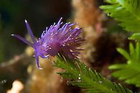 Nudibranch (Flabellina affinis) on algae (Caulerpa taxifolia) Larvotto Marine Reserve, Monaco, Mediterranean Sea<br /> Mission: Larvotto marine Reserve