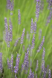 beautiful lavender field in full bloom