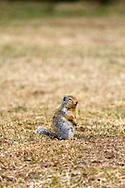 A Columbian Ground Squirrel (Urocitellus columbianus) stays vigilant in Manning Provincial Park in British Columbia, Canada