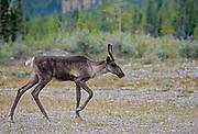 Woodland caribou (Rangifer tarandus)  in Stone Mountain Provincial Park<br />Stone Mountain Provincial Park<br />British Columbia<br />Canada