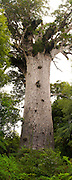 Tane Mahuta, the largest living Kauri tree left standing in New Zealand.