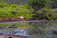 Flamingos feed in a brackish pond on Santa Cruz Island, home to giant tortoises and the Charles Darwin Research Center, Galapagos National Park, Galapagos, Ecuador
