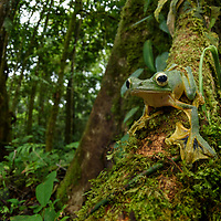 Wallace's Flying Frog (Rhacophorus nigropalmatus) is one of the largest of all tree frogs in Borneo. It is capable of gliding down from the forest canopy by using its enlarged webbed feet as parachutes. Sarawak, Malaysia (Borneo).