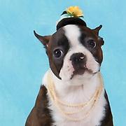 20201129 Conni Boston Terrier