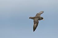 Pacific Northern Fulmar - Fulmarus glacialis