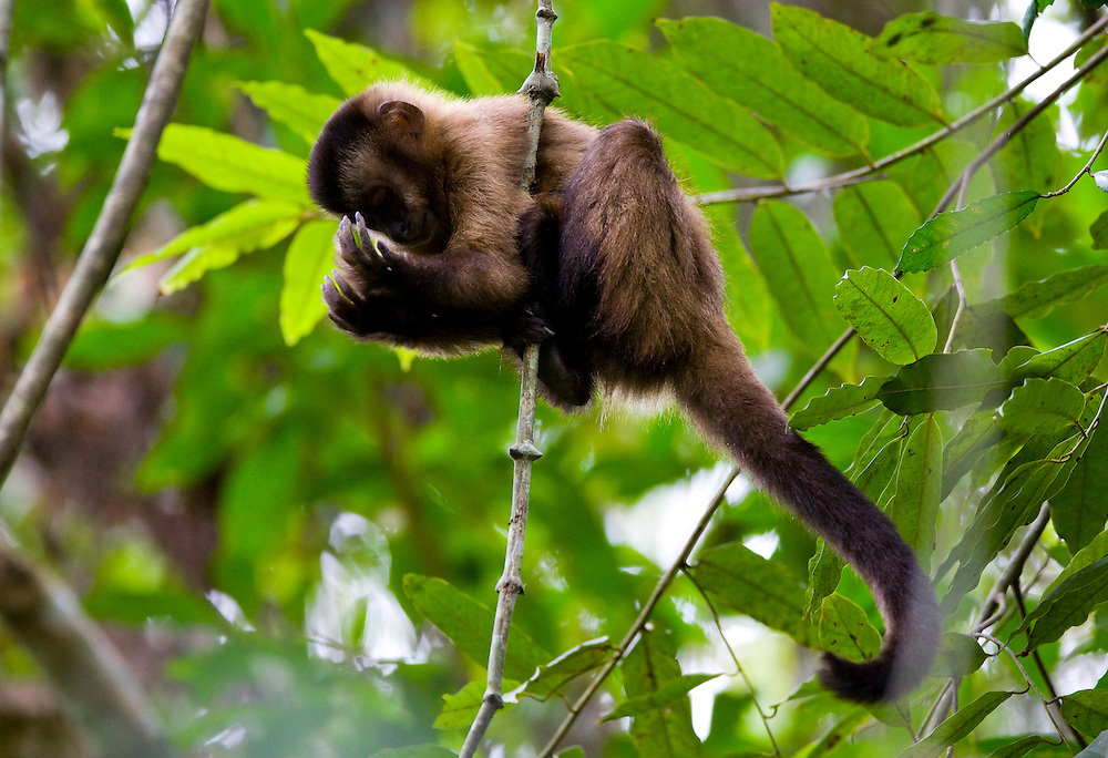 Ipaba _ MG, Brasil...RPPN (Reserva Particular do Patrimonio Natural) Fazenda Macedonia.  Detalhe de um filhote de Macaco-Prego (Cebus apella) em uma arvore...The RPPN (Private Reserve of Natural Heritage) Macedonia farm. In this photo, a Capuchins (Cebus apella) in a tree...Foto: JOAO MARCOS ROSA /  NITRO