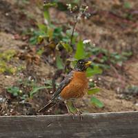An American Robin (Turdus migratorius) perches on a fence in Moss Beach, California.