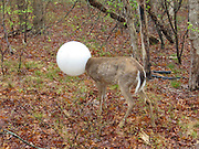 Now THAT'S a deer in a headlight: Conservation cop saves animal after getting its head stuck in a light globe<br /> <br /> A New York State conversation cop saved a deer that was literally caught in a head light.<br /> Environmental Conservation Officer Jeff Hull was called to Centereach on Long Island to reports of a deer that had managed to get its head stuck inside a light globe from a lamppost on Tuesday morning.<br /> The report said the animal had got its head stuck inside the globe and had been laying in the woods since the night before, the New York State Department of Environmental Conservation said on its Facebook page.<br /> <br /> Upon arrival, Officer spotted the deer about 20 yards from the road in a housing development.<br /> Officer Hull approached the deer, but on his first attempt, 'the wet globe slipped out of his hands.'<br /> Unable to see, the deer then ran into a nearby downed tree and fell down, the department said.<br /> <br /> But then, Officer Hull threw his coat over the globe and grabbed it with both arms 'as the deer kicked and struggled to break free.'<br /> At this point, the deer managed to slip its head out of the globe and ran off into the woods.<br /> 'ECO Hull was left with a good story and a few bruises, but his integrity intact,' the department added.<br /> <br /> Photo shows: A New York State conversation cop saved a deer (pictured above) that was literally caught in a head light<br /> ©Exclusivepix Media