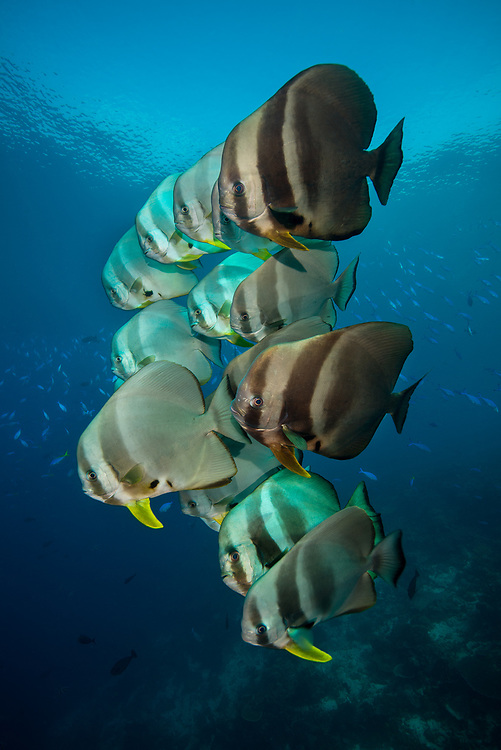 School of  longfin batish, Platax teira, also known as the teira batfish, longfin spadefish, or round faced batfish. Dampier strait, Raja Ampat, West Papua, Indonesia